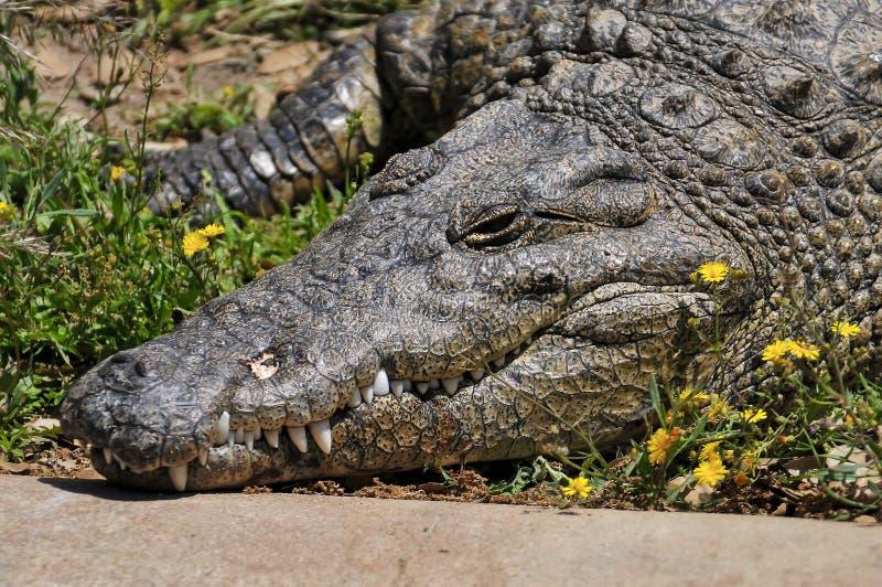 Big crocodile. In a natural park stock image