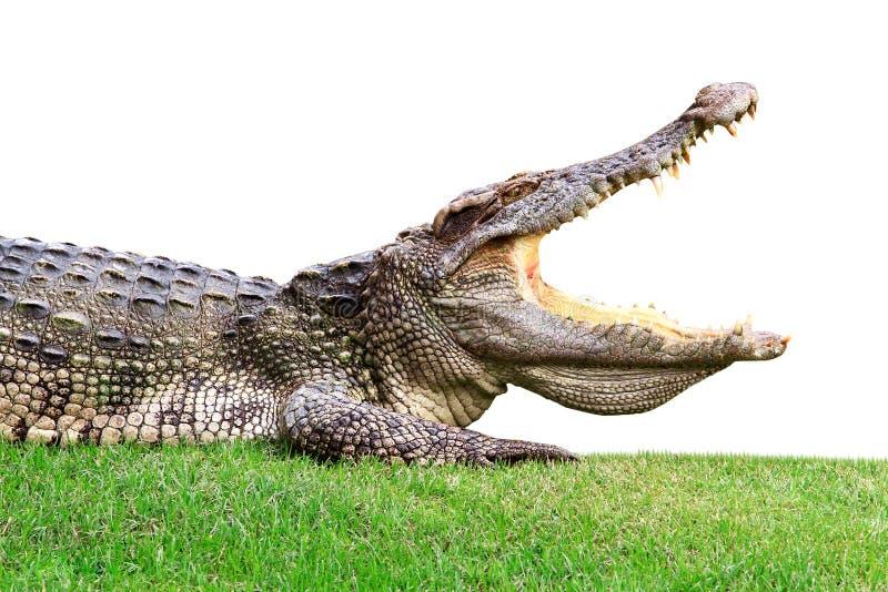 Big crocodile on green. In zoo of Thailand stock image