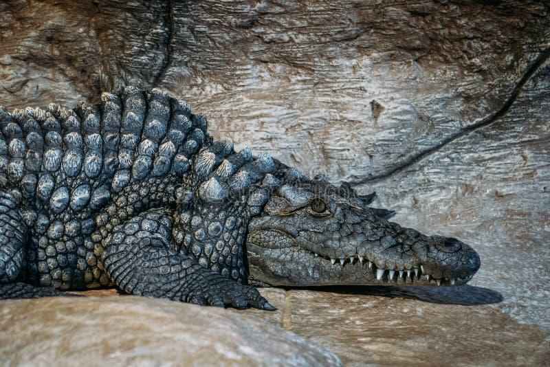 Big crocodile having rest and looking at camera.  stock image