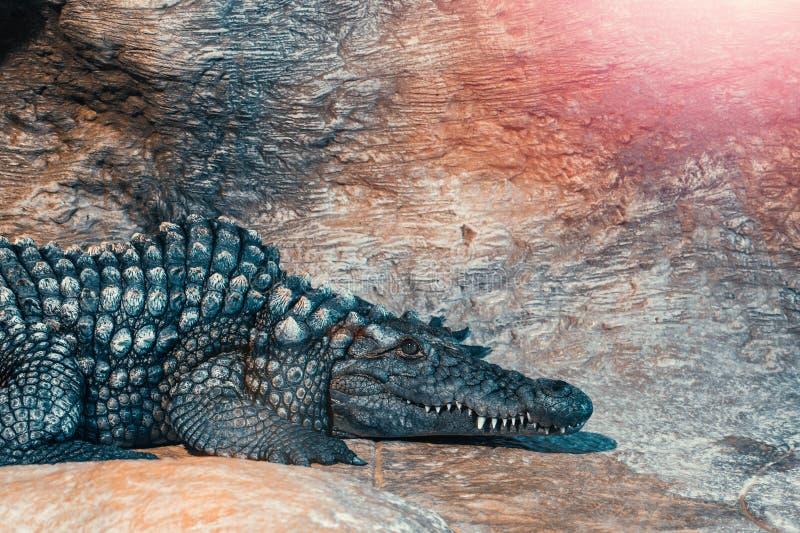 Big crocodile having rest and looking at camera.  royalty free stock image