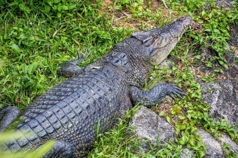 Big crocodile lay dawn on the floor in the zoo. Big crocodile lay dawn on the floor in the Songkhla zoo, Thailand stock photos