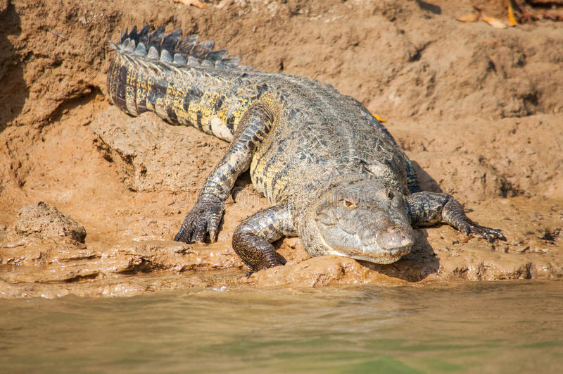 Big crocodile. Lying on the river Usumacinta bank between Mexico and Guatemala stock images