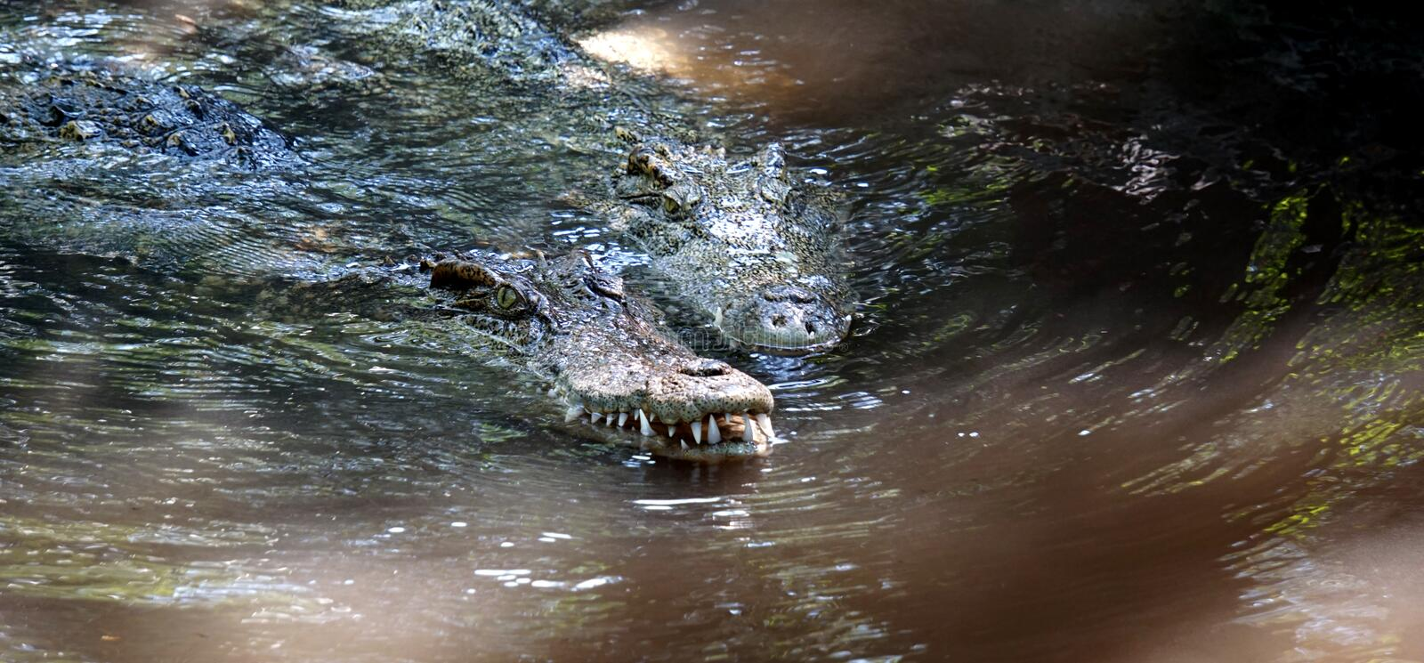 The big crocodile in Thailand. The big crocodile in the north of Thailand stock photography