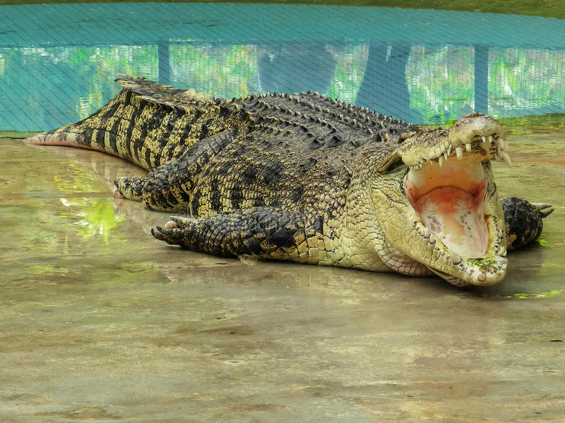 Big crocodile with open mouth. Near the pool stock images