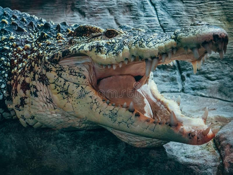 Big crocodile with open mouth and teeth, sign of aggression in wild animal life. Close up stock photos