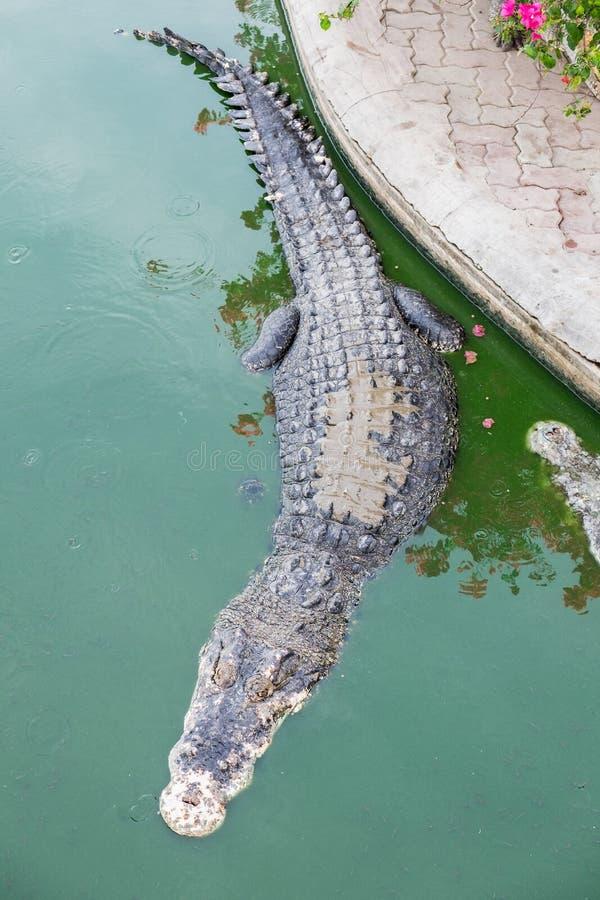 Big crocodile in pond. Farm royalty free stock photos