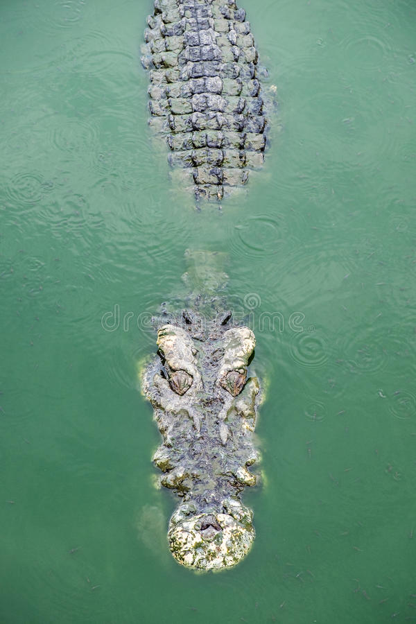 Big crocodile in pond. Farm royalty free stock photography
