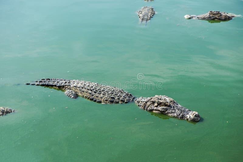 Big crocodile in pond. Farm royalty free stock image