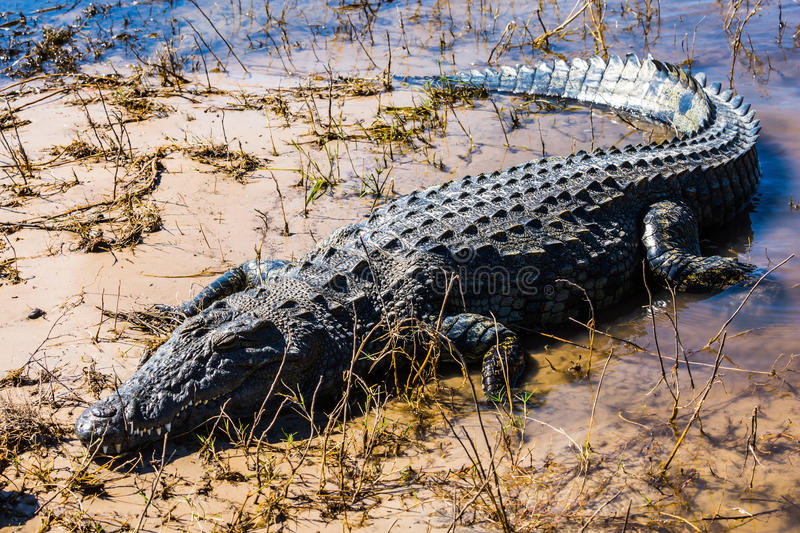 The big crocodile quickly creeps out of water. Botswana, Chobe National park on the river Zambezi stock photos