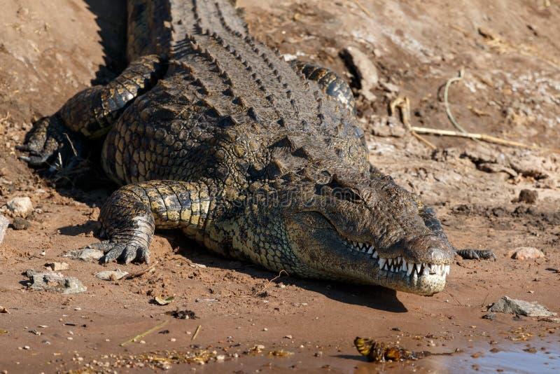 Big crocodile resting riverfront Chobe Botswana Africa. Big scary crocodile resting on riverfront Chobe, Botswana, Africa. Close up showing head and teeth stock photos