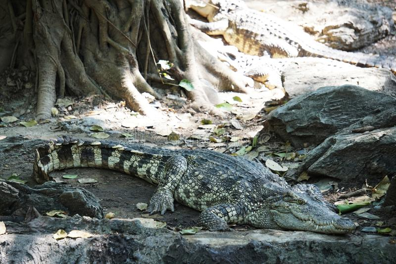 The big crocodile in Thailand. The big crocodile in the north of Thailand stock images
