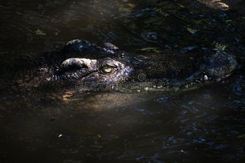 The big crocodile in Thailand. The big crocodile in the north of Thailand stock photos