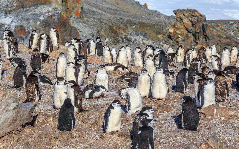 Big crowd of chinstrap penguins standing on the rocks at Half Moon island, Antarctic peninsula. Animal, antarctica, antarctida, area, beauty, bird, birds royalty free stock image