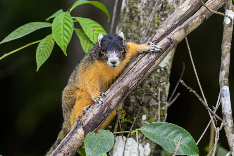 Big cypress fox squirrel. Staring at you stock images