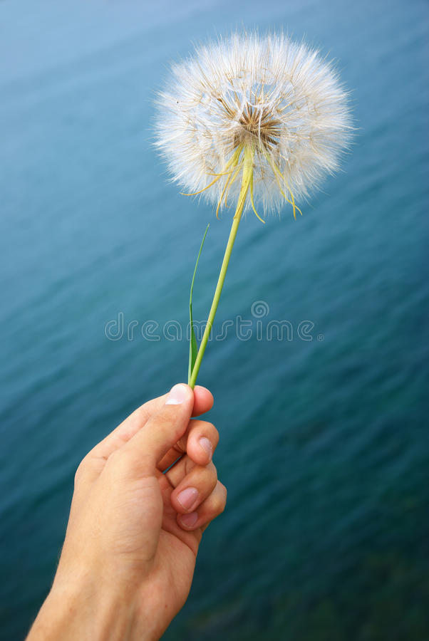 Big dandelion. In hand. Element ofdesign stock photos