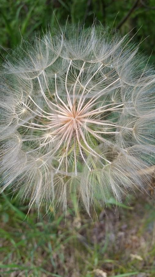 Big Dandelion. This is a big dandelion along the walking path royalty free stock photo