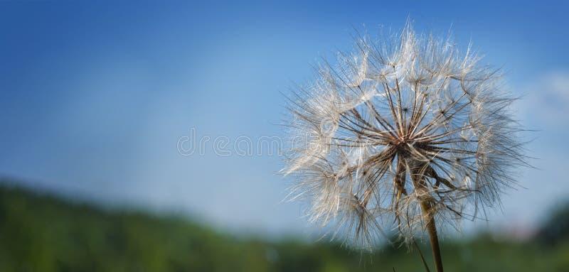 Big dandelion on a blue background.  royalty free stock images