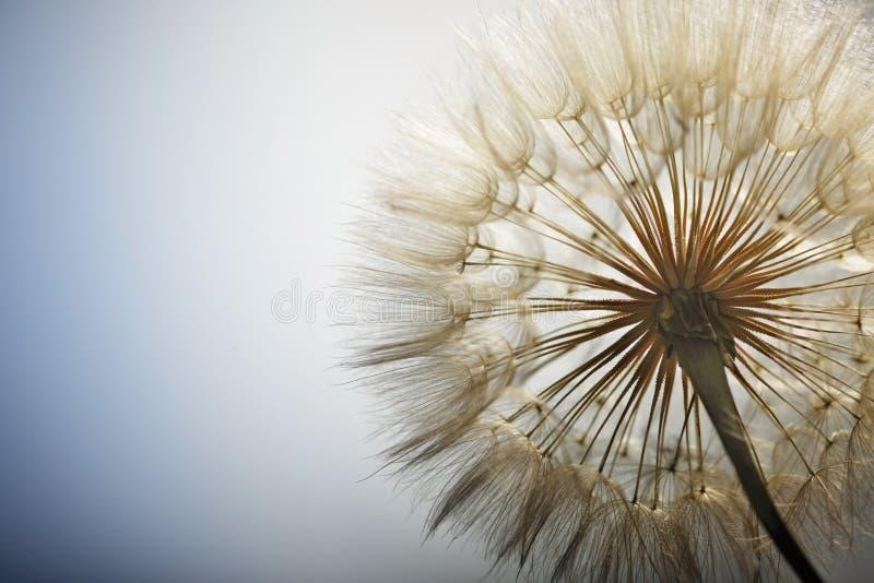 Big dandelion. On a blue background royalty free stock images