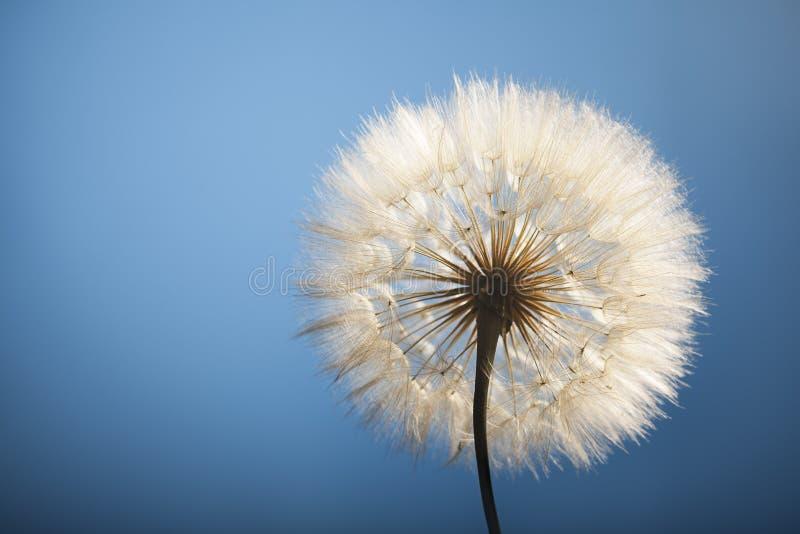 Big dandelion. On a blue background stock image