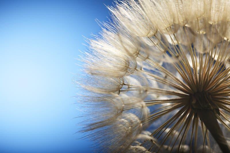 Big dandelion. On a blue background royalty free stock image