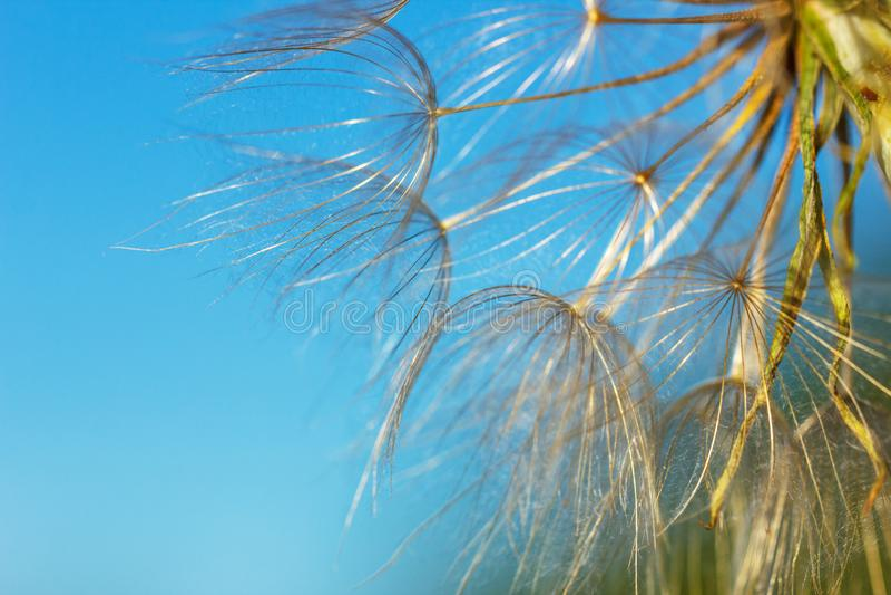 Big dandelion on blue sky background close up.  royalty free stock images