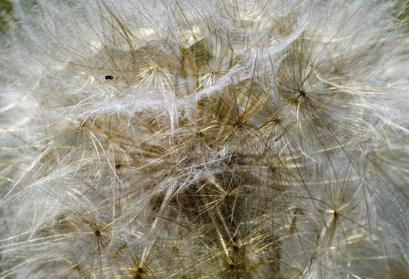 Big dandelion close-up. In the form of a texture or background stock photo