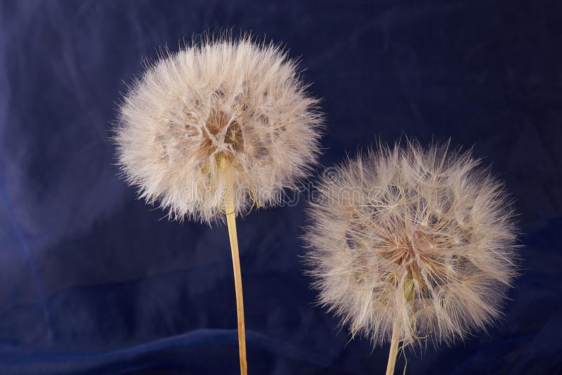Big dandelion close up. Dry Big dandelion close up. Nature background royalty free stock image