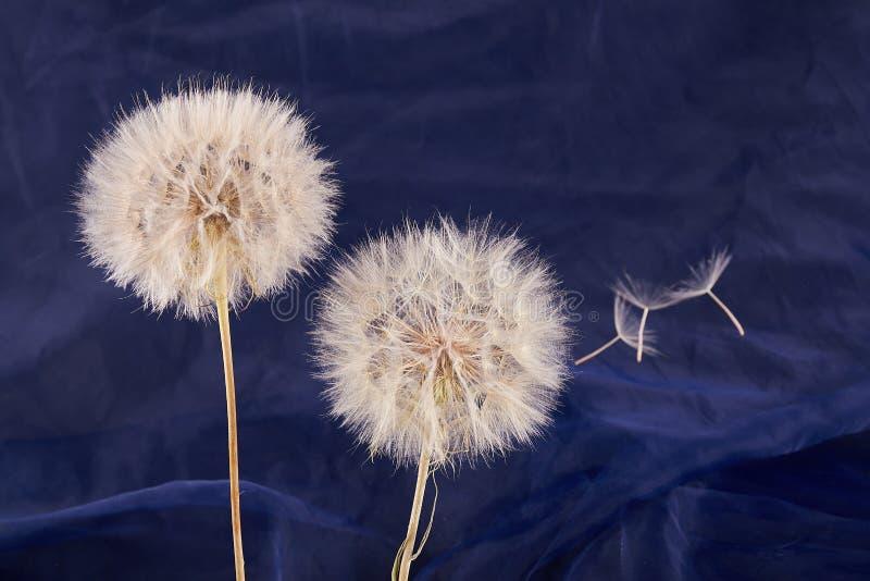 Big dandelion close up. Dry Big dandelion close up. Nature background royalty free stock photography