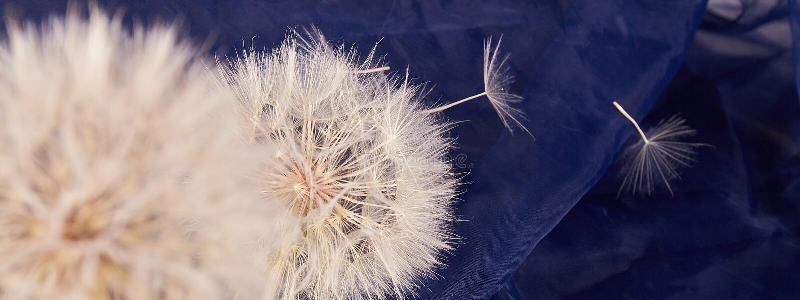 Big dandelion close up. Dry Big dandelion close up. Nature background stock images