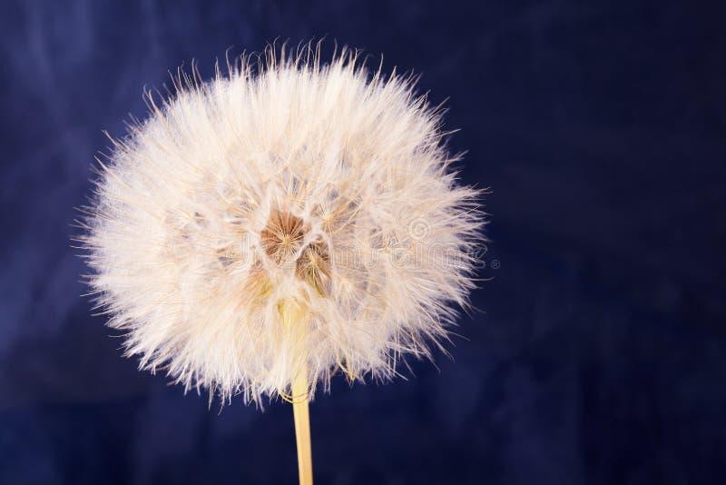 Big dandelion close up. Dry Big dandelion close up. Nature background royalty free stock photos