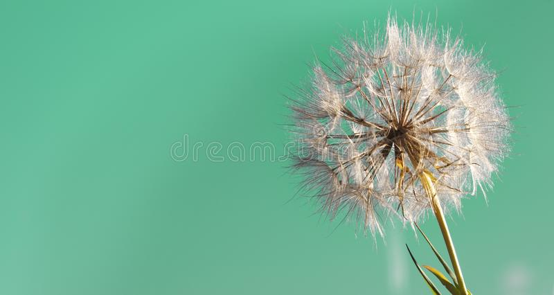 Big dandelion on a green background.  royalty free stock photo