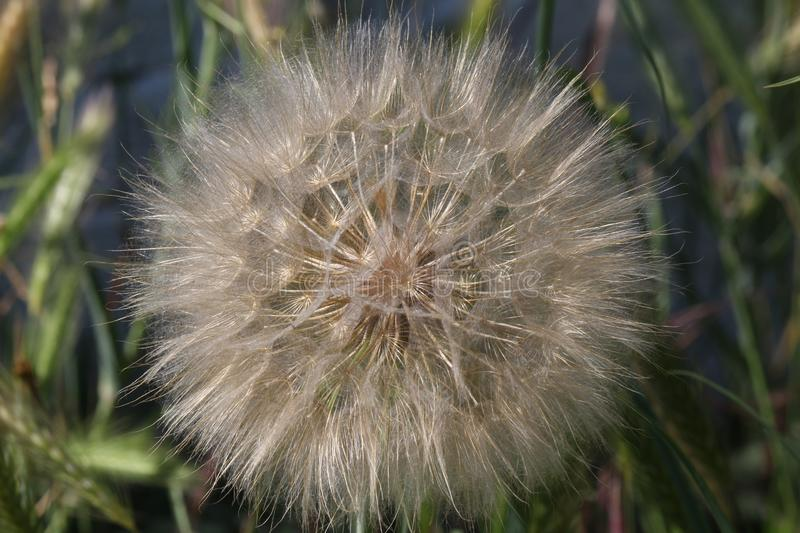 Big dandelion in the meadow. Big dandelion on a green meadow. summer sunny day. green grass grows behind it royalty free stock photo