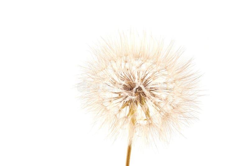 Big dandelion on white. Big dandelion isolated on white background. Dry plants stock photos