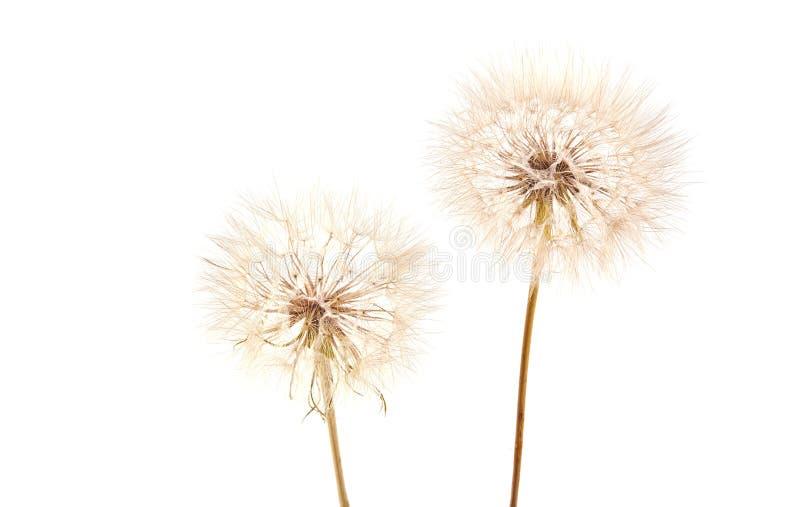 Big dandelion on white. Big dandelion isolated on white background. Dry plants stock images