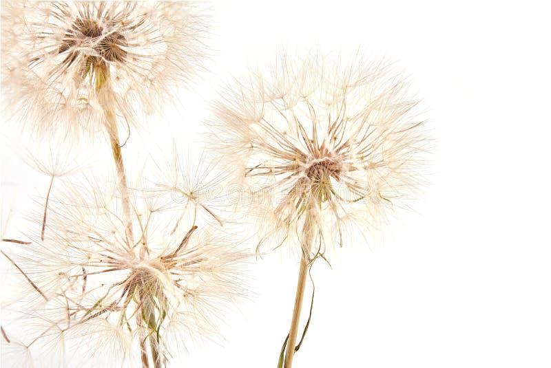 Big dandelion on white. Big dandelion isolated on white background. Dry plants royalty free stock photography