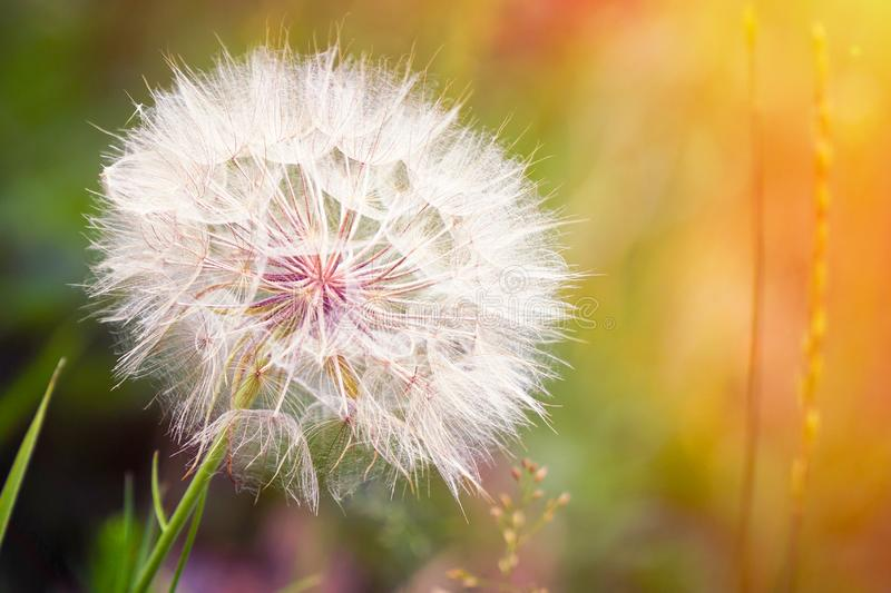 Big dandelion on natural background. Salsify-Tragopogon dubius. Sunlight royalty free stock photography
