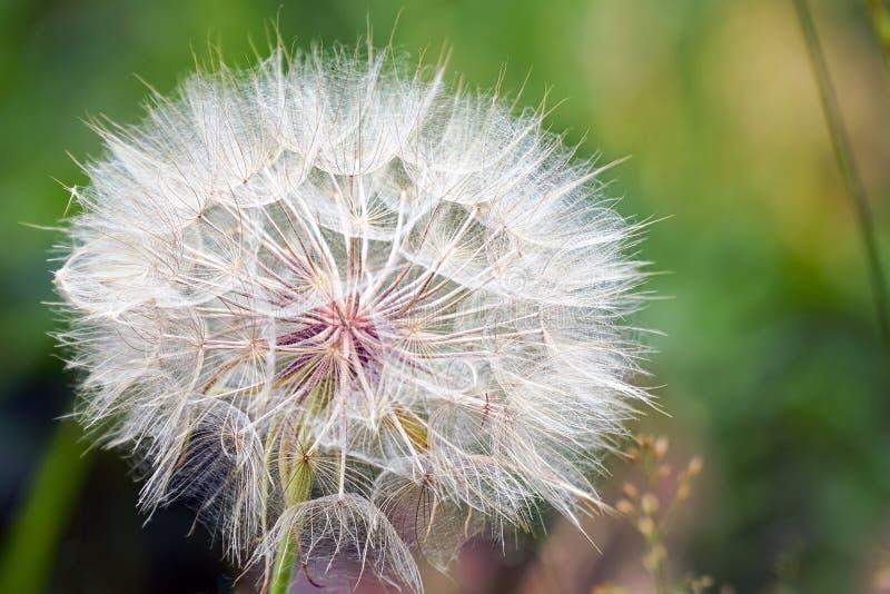 Big dandelion on natural background. Salsify-Tragopogon dubius royalty free stock photo
