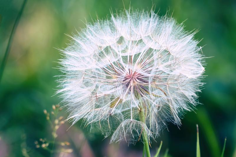Big dandelion on natural background. Salsify-Tragopogon dubius royalty free stock photography