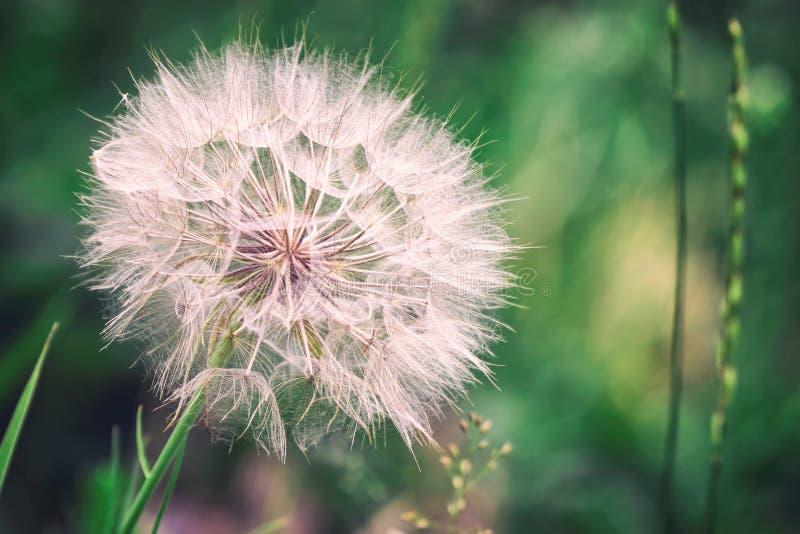 Big dandelion on natural background. Salsify-Tragopogon dubius stock photography