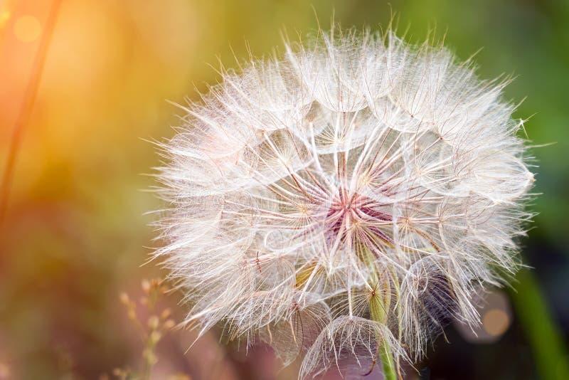 Big dandelion on natural background. Salsify-Tragopogon dubius. Sunlight stock image