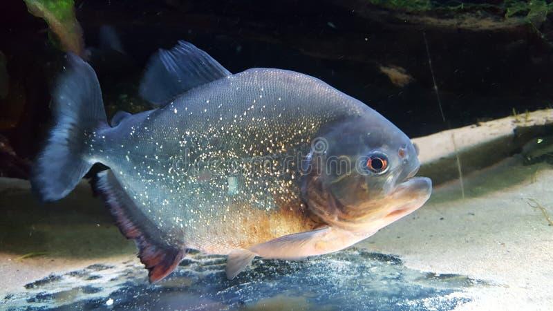 Blue marine fish at aquarium stock photo