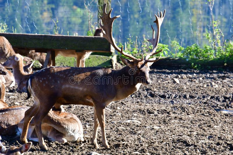 Big deer with a big antler in a zoo. Zoo deer animal big antler Brown White dots nature wild stock images