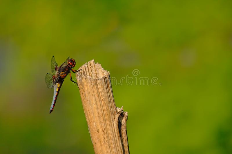 Big blue dragonfly sitting on a pole - Anisoptera. Big dlue dragonfly sitting on a wood pole, selective focus with green bokeh background royalty free stock images