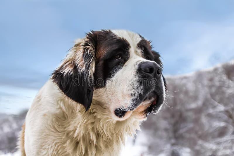 Big Dog Royalty Free Stock Image