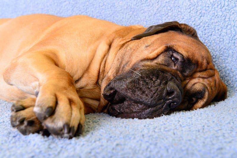 Bullmastiff Sleeping On Couch Stock Photo - Image of best ...