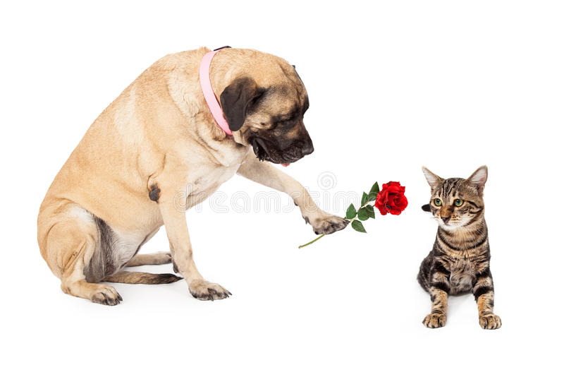 Big Dog Handing Rose to Cat royalty free stock image