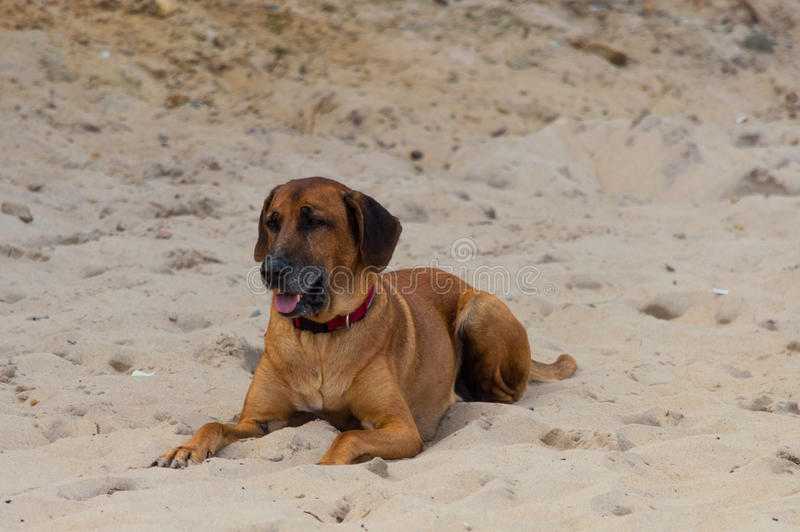 Big dog laying on sand beach.  royalty free stock photos