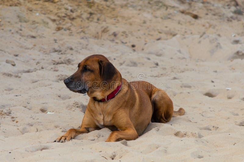 Big dog laying on sand beach.  royalty free stock photo