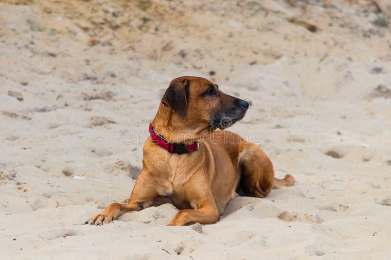 Big dog laying on sand beach.  stock image