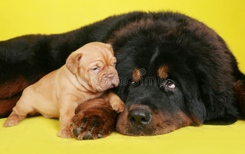 Big dog and the little puppy stock photo